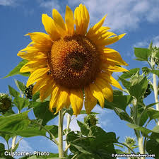 sunflower seeds mammoth grey stripe american meadows