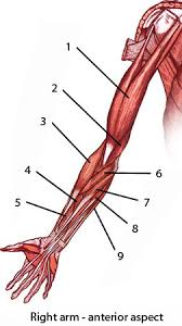 Shoulder And Arm Muscles Anatomy Free Anatomy Quiz Muscles Of The Upper Limb Origins And