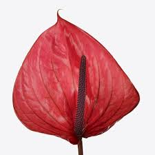 anthurium flower anthuriums wholesale flowers florist supplies uk