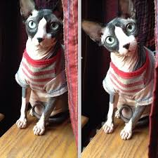 sphynx sweaters my hairless cat smells like potatoes offbeat home