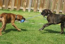 2 types of boxer dogs the boxer dog breed all your questions answered
