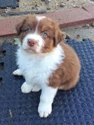 australian shepherd rescue 5 pictures of beautiful australian shepherd puppy australian