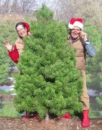 scotch pines blue spruce white firs balsam firs black hills