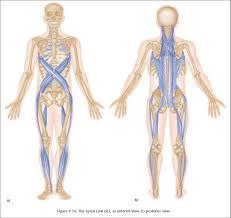 Anatomy Of Human Body Pdf Thomas Myers Anatomy Trains Pdf At Best Anatomy Learn