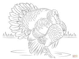 bourbon red turkey tom coloring page free printable coloring pages