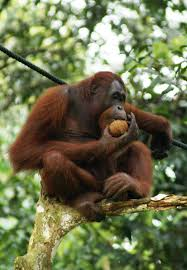 Tropical Dry Forest Animals And Plants - frugivore wikipedia