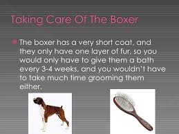 boxer dog grooming the boxer dog