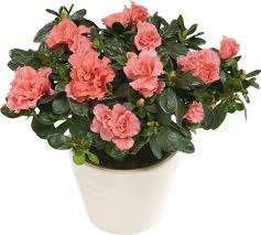 Design For Indoor Flowering Plants Ideas Extremely House Plants With Flowers The Most Popular Indoor Of