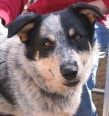 blue heeler x australian shepherd texas heeler aussie blue heeler cross my dog is the very same