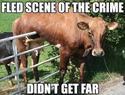 Funny Cow Memes - 20 fantastically funny cow memes to put you in a happy moo d i can