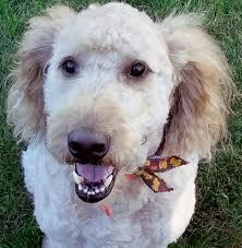 doodle for adoption indiana for adoption il near chicago il petfinder
