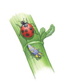 Gardening Pest Control - how to attract ladybugs lady beetles to your garden organic