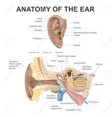 Anatomy Ear The Human Ear Consists Of Three Parts The Outer Ear Middle Ear