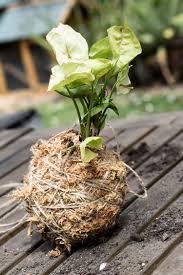 diy kokedama u2014 emma sadie thomson est plant stylist