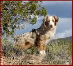 rockin b miniature australian shepherd mini american shepherd puppies are from heaven