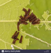 swallowtail butterfly caterpillar stock photos u0026 swallowtail