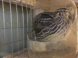 the winter quail condo u2013 tomahawk permaculture