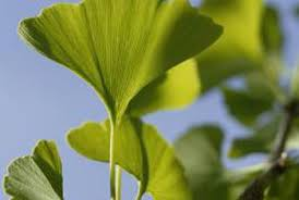 why do ginkgo tree berries stink home guides sf gate