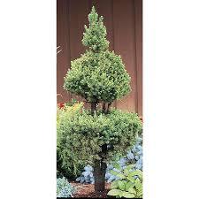 shop 3 25 gallon poodle alberta spruce feature tree l2796