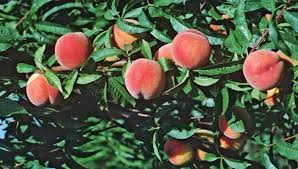 select and care for fruit trees