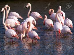 pink flamingos in camargue national park france stock photo