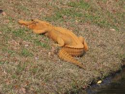 South Carolina wild animals images Mysterious orange alligator spotted in south carolina jpg