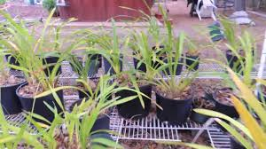 orchid plants for sale orchids for sale san diego cymbidiums