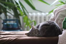 sleeping on short hair cat british shorthair sleeping free photo on pixabay