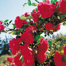Achat Rosier Grimpant by Rosier Stairway To Heaven Roses Guillot