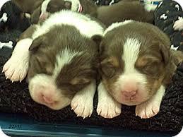 australian shepherd collie mix sonya u0027s puppies adopted puppy republic wa australian