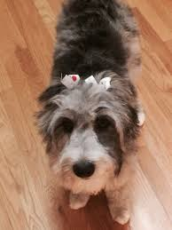australian shepherd and poodle the 43 best images about aussidoodles on pinterest australian