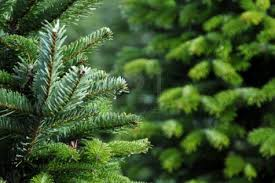 christmas christmas tree farms near mexico mo me meriden ct