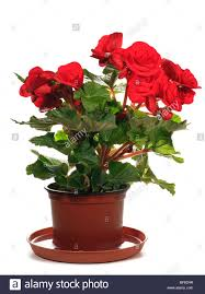 home plant begonia in flowerpot isolated on white background