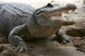 350 alligators could escape in texas flood waters after hurricane