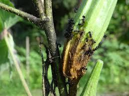 Okra Plant Diseases - need help with identifying this disease in okra bhindi ladys