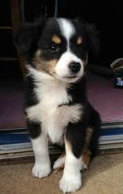 australian shepherd german shepherd mini australian shepherd s on pinterest mini australian