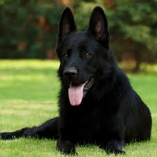 belgian sheepdog michigan 2048x2048 wallpaper black shepherd german shepherd grass
