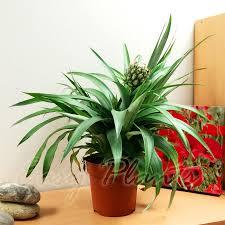 exotic garden tropical mini pineapple fruited indoor plant in pot