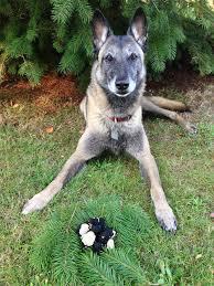belgian shepherd how to train how to train your dog for truffle hunting bon appétit bon appetit
