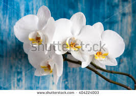 White Orchid Flower Free Stock Photo Of Phalaenopsis Orchid Flowers Wallpaper