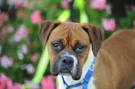 boxer dog for adoption view ad boxer dog for adoption california alameda usa