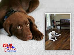 Laminate Flooring And Pet Urine Best Flooring For A Home With Pets Wood Or Carpet Express Flooring
