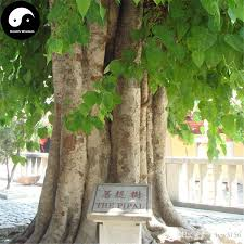 2017 buy real bodhi tree seeds plant ficus religiosa bo tree grow