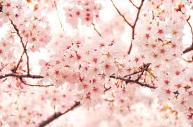 cherry blossom tree facts 16 cherry blossoms facts cherry blossoms and blossom tree trivia