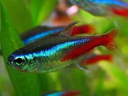 229 best freshwater fish images on beautiful fish