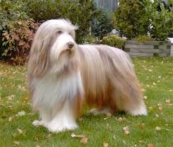 bearded collie brown archibald beatnik from magpie valley jpg openelement