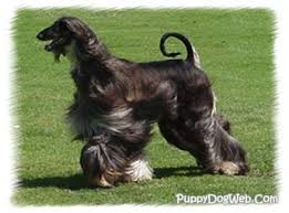 afghan hound dogs 101 afghan hound