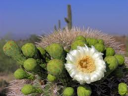 desert flower bloom saguaro desert flower computer wallpaper desert hd 16 9