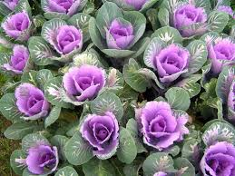 ornamental cabbage comes in this purple and also a pretty pink and