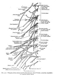 cervical spinal nerve 8 wikipedia
